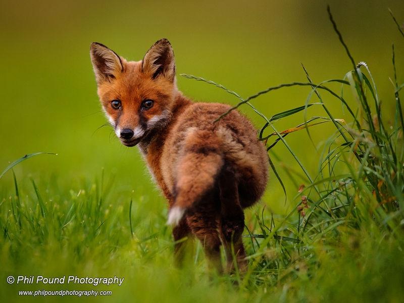 Fox Cub Looking Back