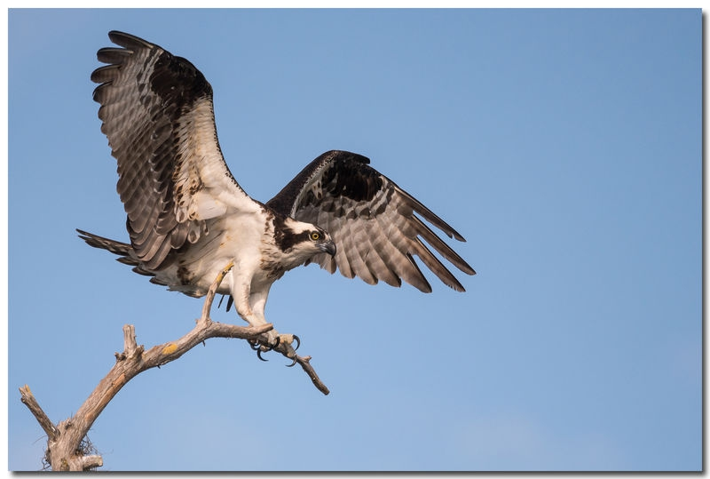 Osprey landing on perch.