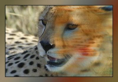 Cheetah after the Kill