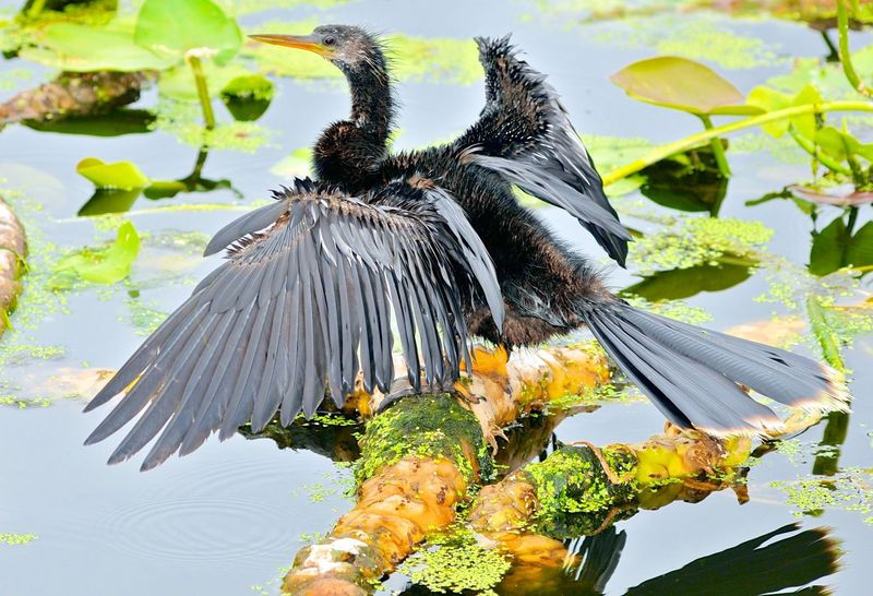A young Anhinga drie's it's wing's!!!