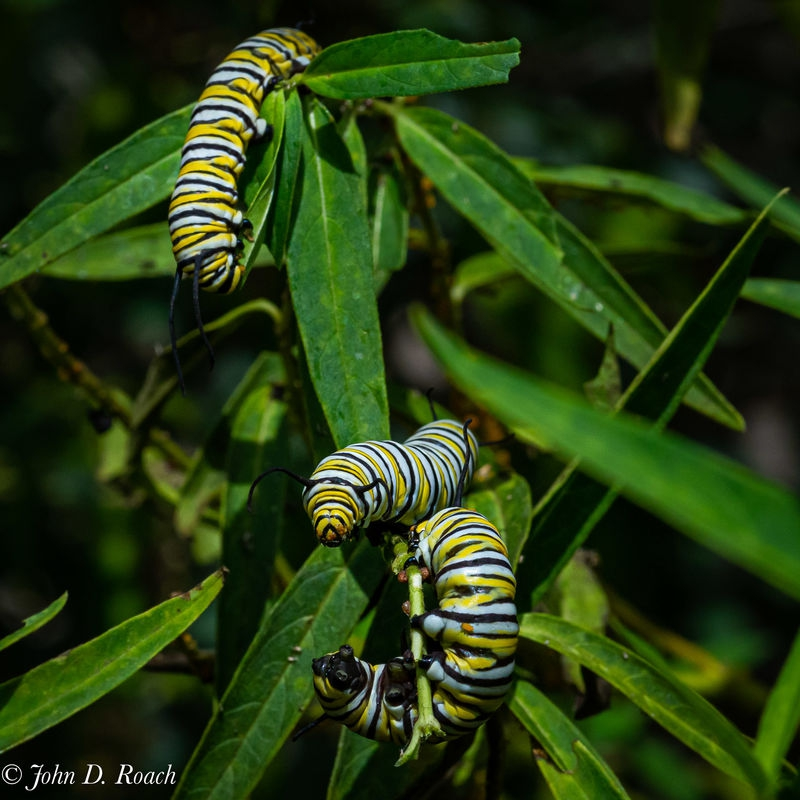 Monarch Larvae - 1