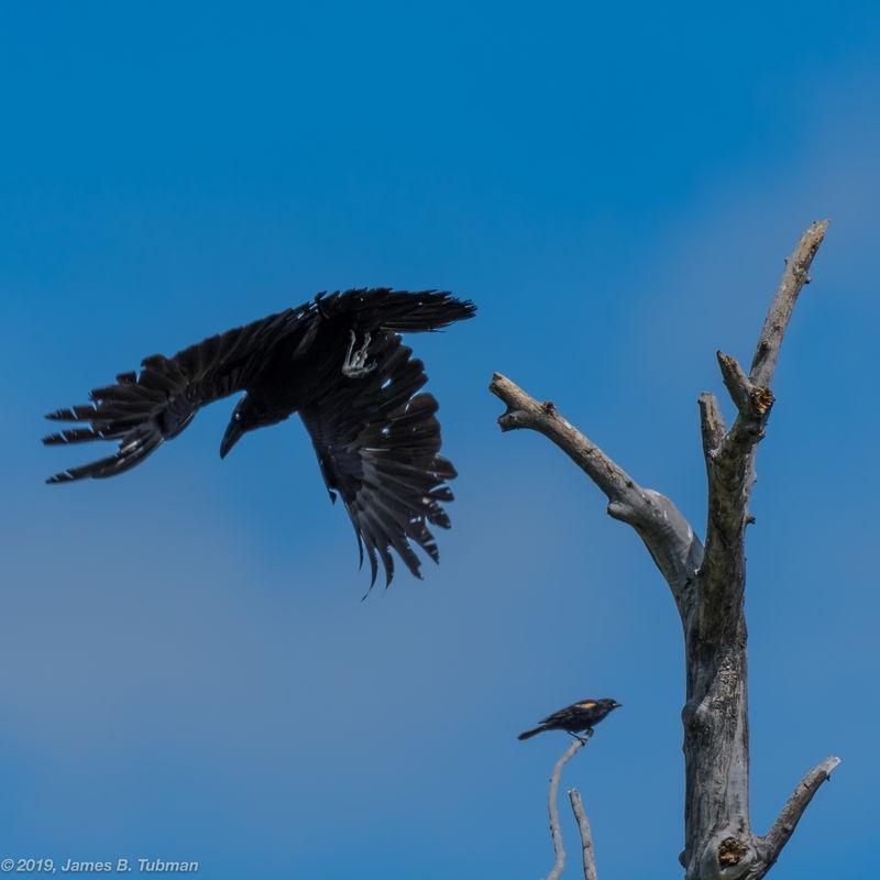 Red-Winged Blackbird Attacks