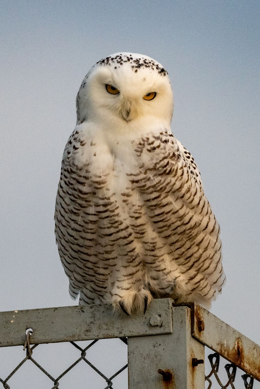 Snowy Owl at the Jersey Shore