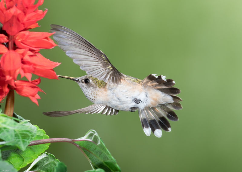 Acrobatic Hummingbird