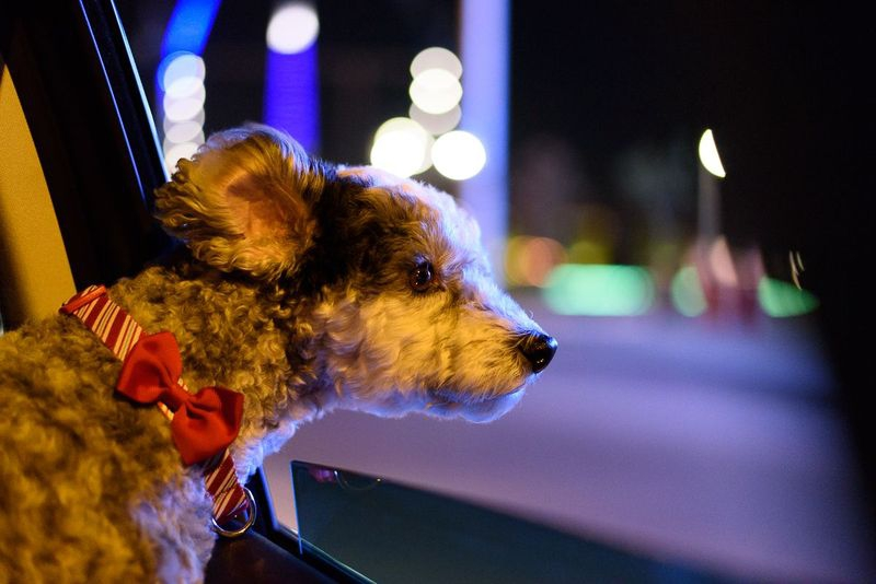 Sequential Shots - Riding in cars with dogs #4