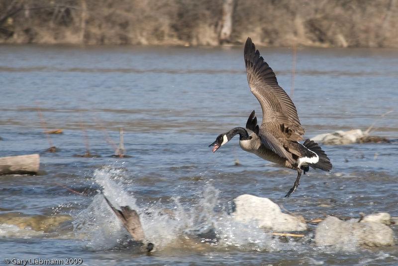 Wild Goose Fight