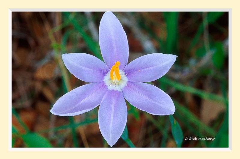 Blue_Star_Grass2S2M.jpg