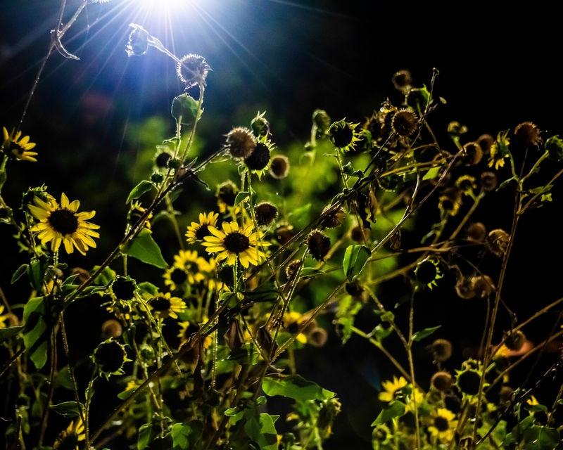 Street_Light_Sunflower.jpg
