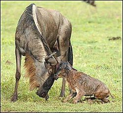 Wildlife Tenderness (louis)