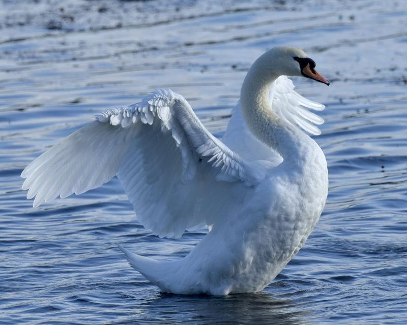 Swan Drying Wings