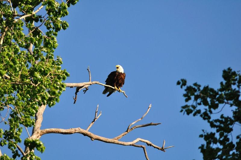 Vocalizing Eagle