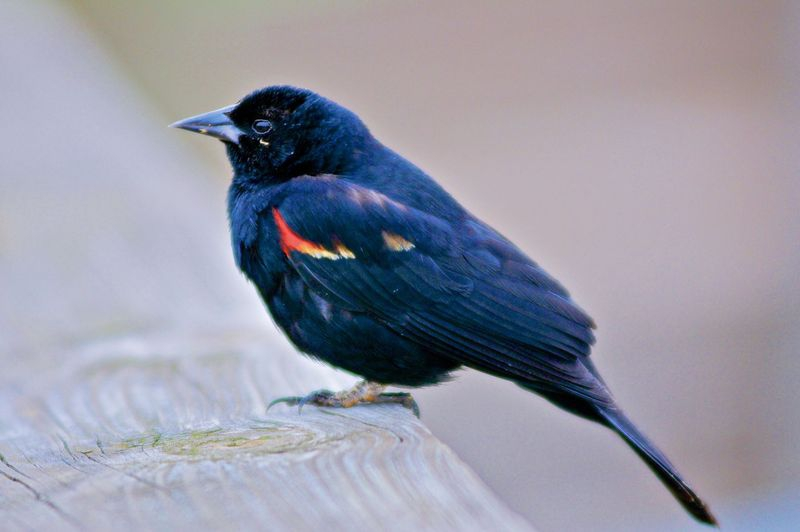 Agelaius phoenicius,RED WINGED BLACKBIRD