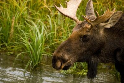 Visitor Center Moose