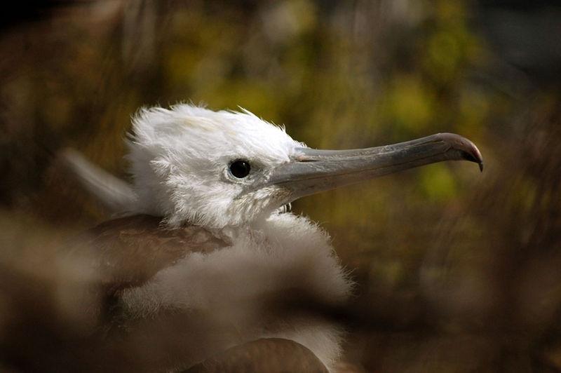 Nesting Juvenile Magnificent Frigate