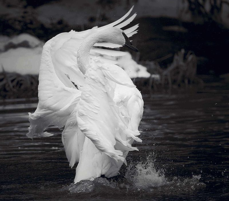 Swan_Song_-_Version_2