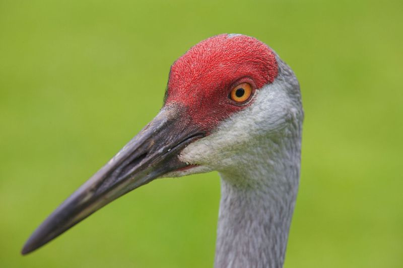Grus canadensis-Sandhill Crane