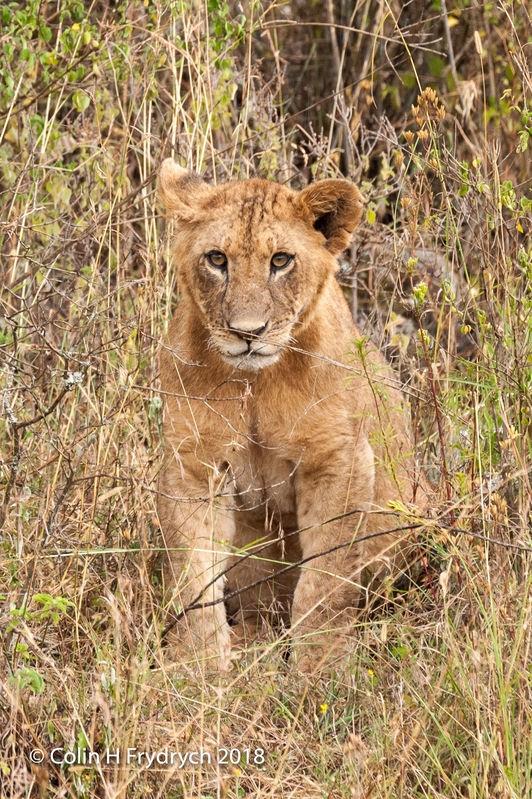 Lions_Kenya_3