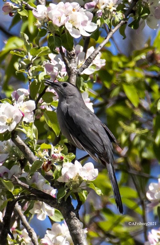 Gray-Headed Catbird