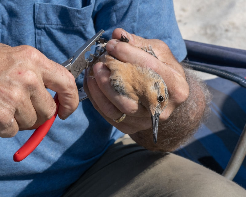 Banding Red Knot