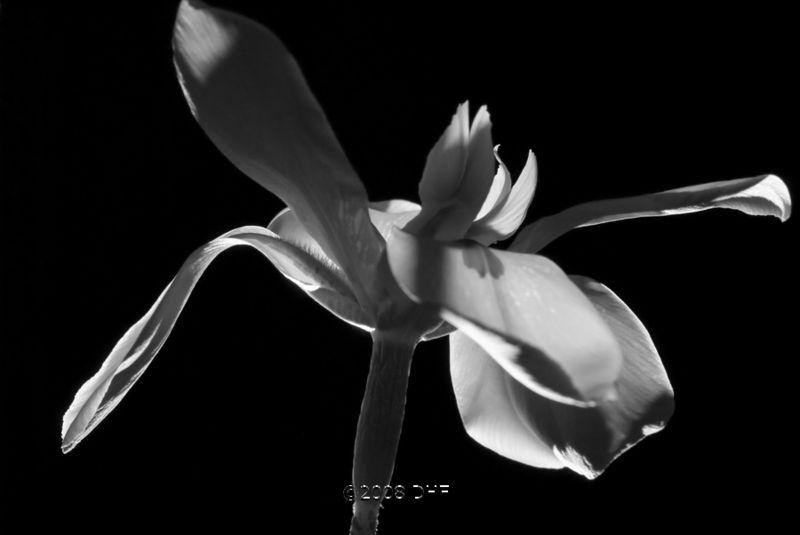 BW Butterfly Iris