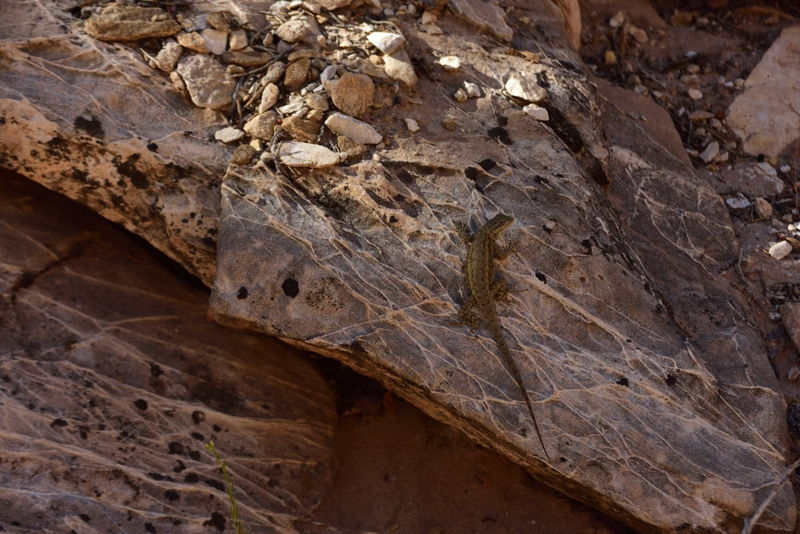 Gecko at Cottonwood
