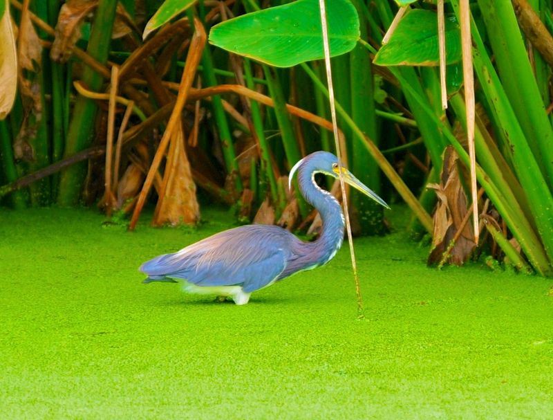 Egretta tricolor in the Duckweed,Tri color heron
