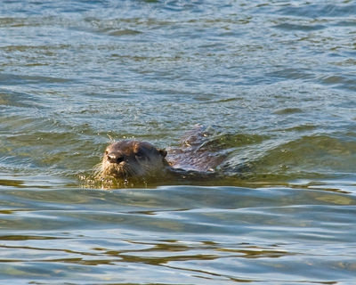 River Otter in Yellowstone Lake