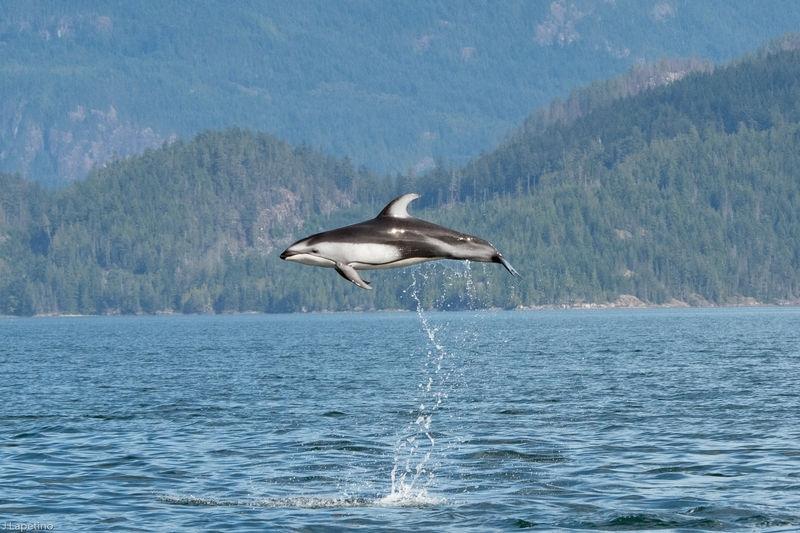 Wildlife in Straight of Georgia - British Columbia