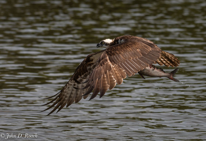 Osprey_Fishing_Sequence-16