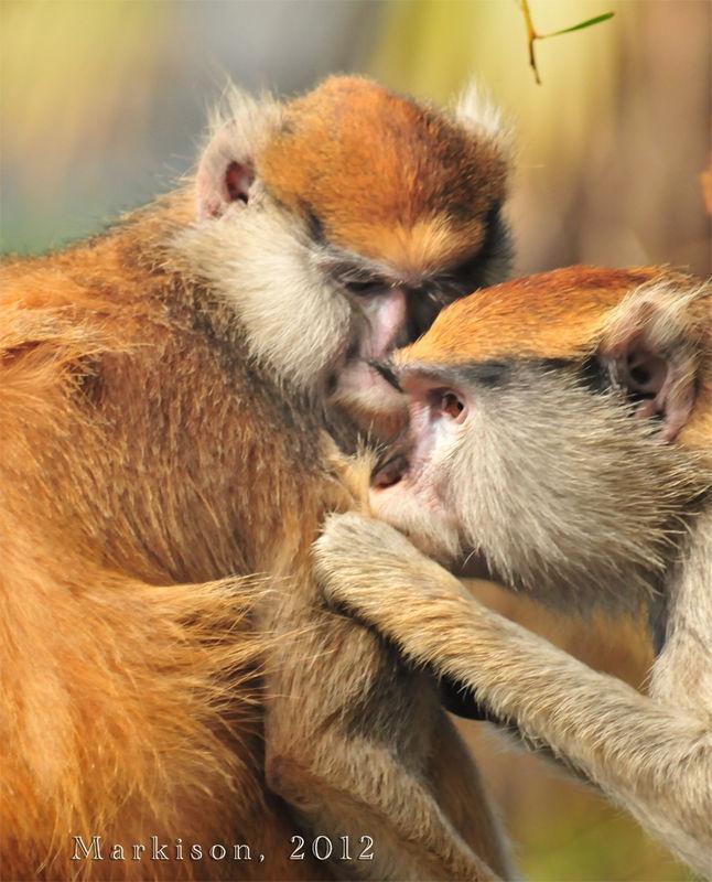 Patas Monkey Valentines