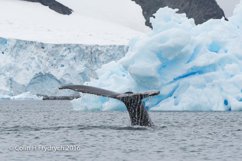 270_2016-01-20_Antarctica_Humpback_Whales_Yankee_Harbour_D750_CFP2126flickr