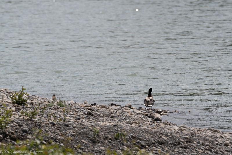 Duck Pondering