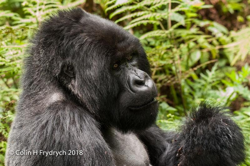 Mountain_Gorillas_Rwanda_9