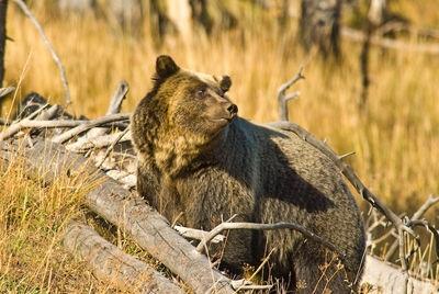 Grizzly Bear Near Yellowstone Lake