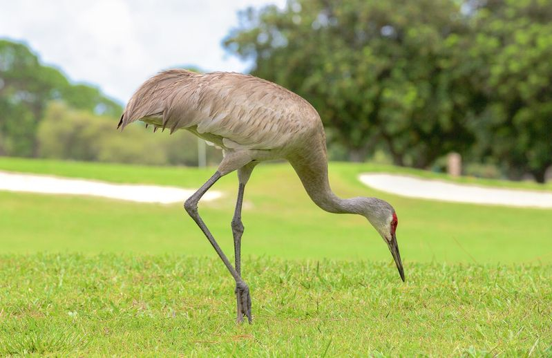 Grus canadensis,Golf Course Resident