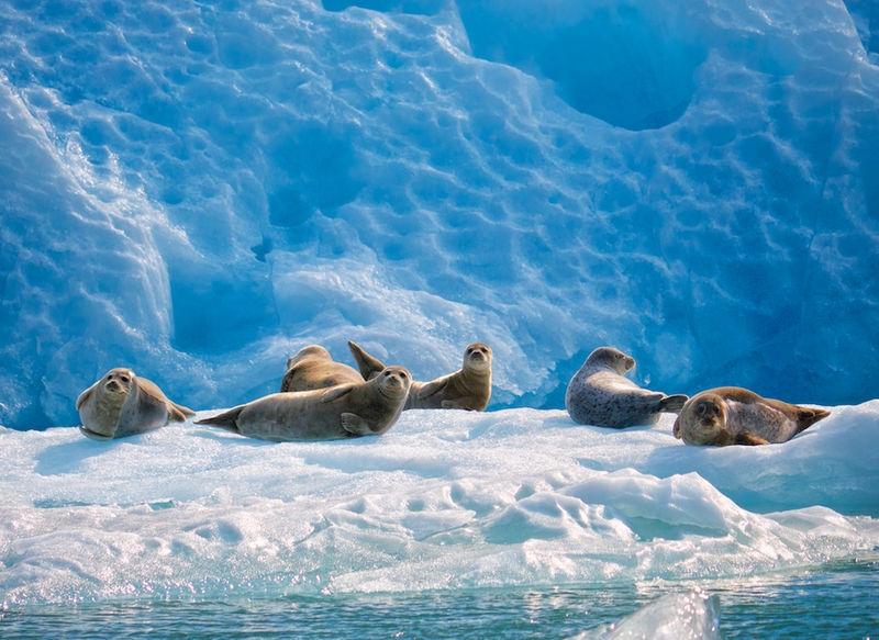 Harbor Seals on Glacier Ice