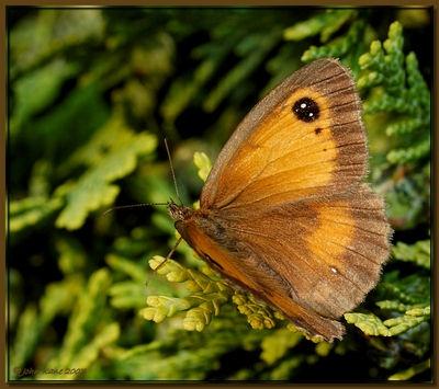Gatekeeper Butterfly