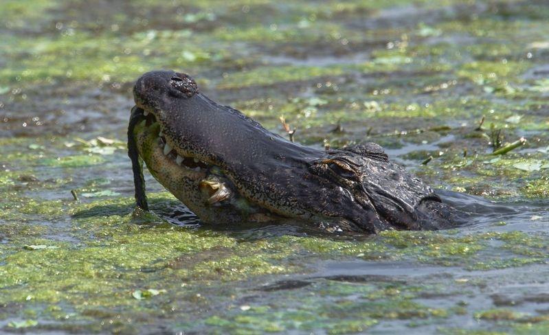 Alligator mississippiensis-American Alligator