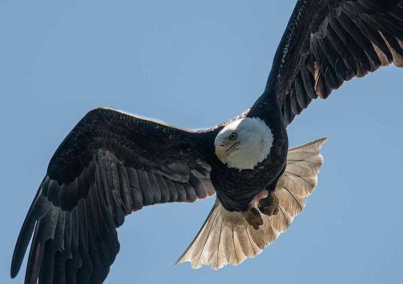 Bald Eagle, Lost Lake, Olympia, WA