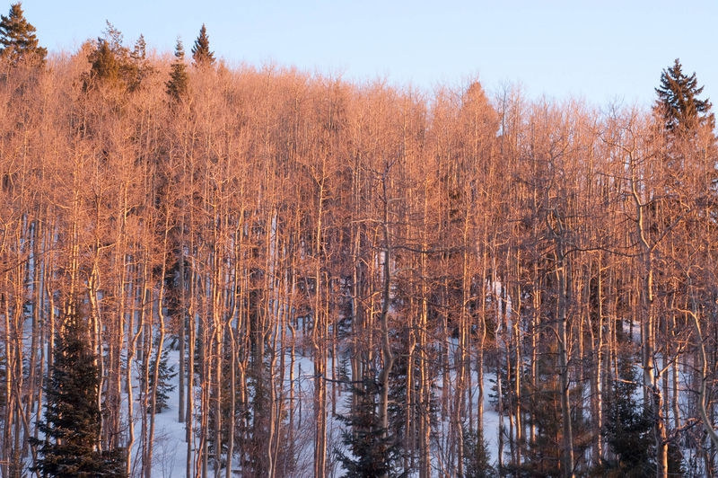 Sunset light on aspen trees