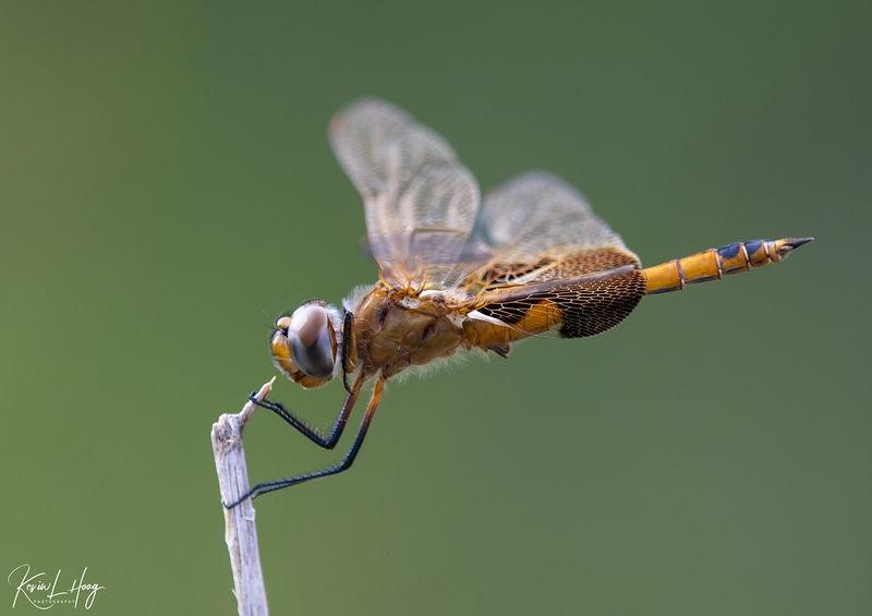Dragonfly on My Morning Neighborhood Walk