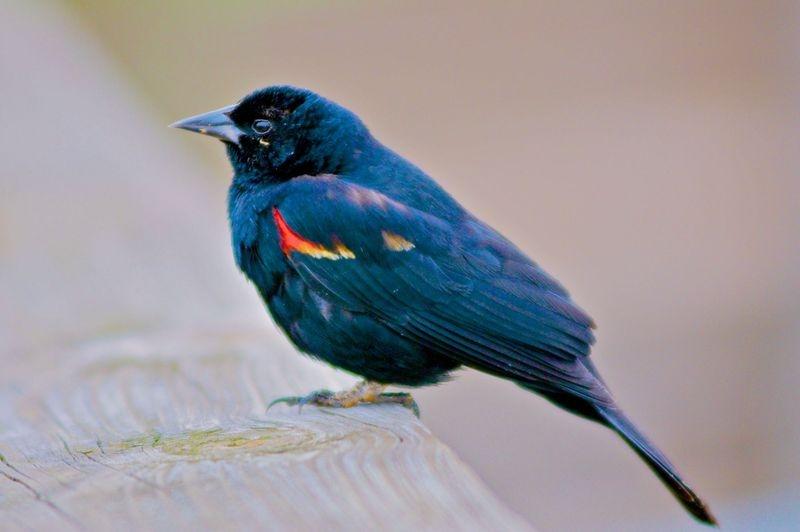 Agelaius phoenicius,RED WINGED BLACKBIRD