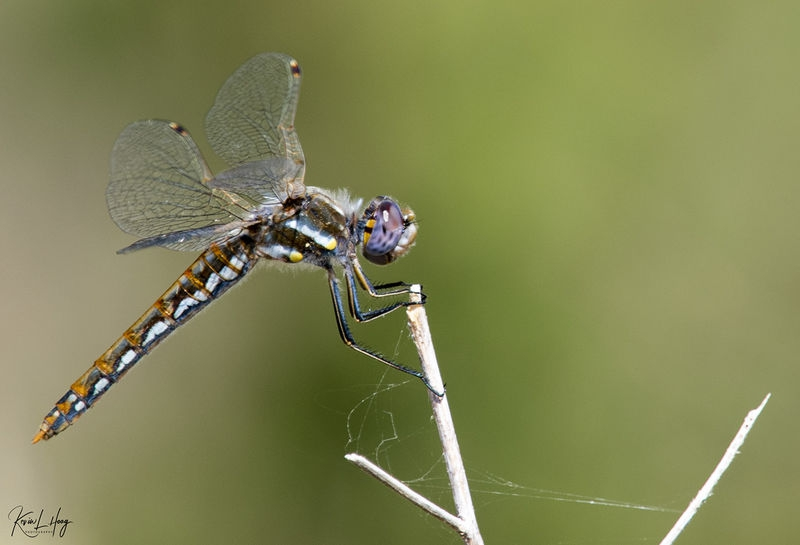 The Colors of Dragonflies