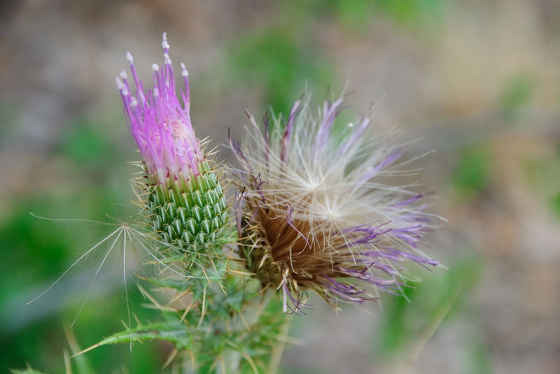 Colorful Thistle flower