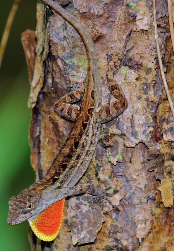 Brown_anole1