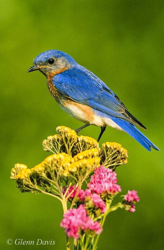 Bluebird on yarrow