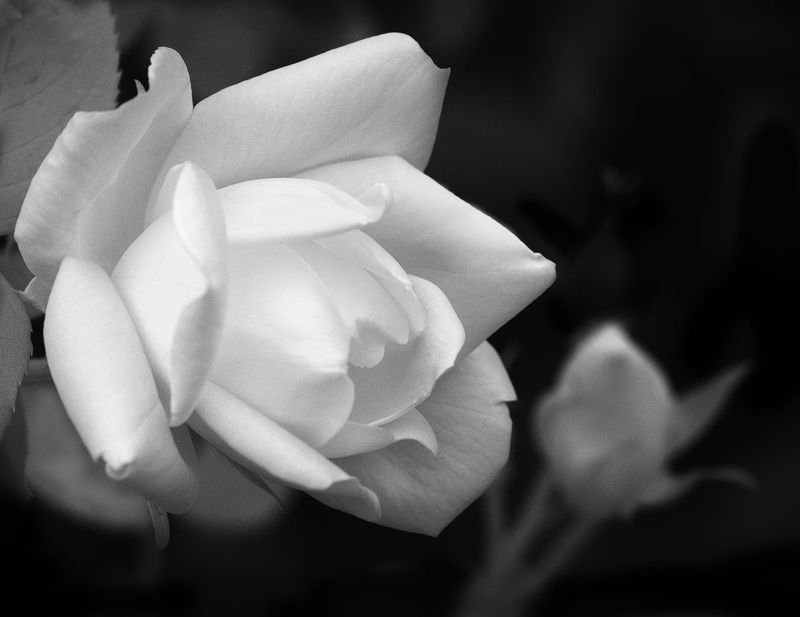 Infrared Rose
