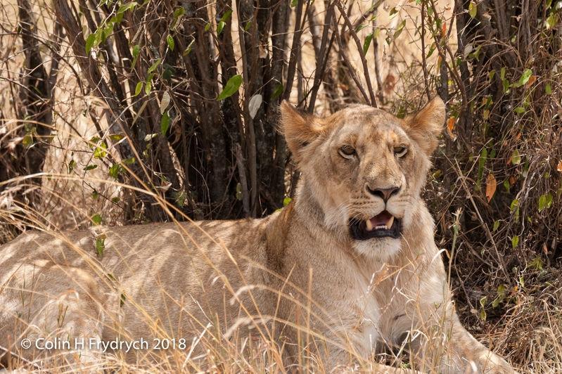 Lions_Kenya_8