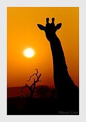 From Dusk till Dawn (Safariman)