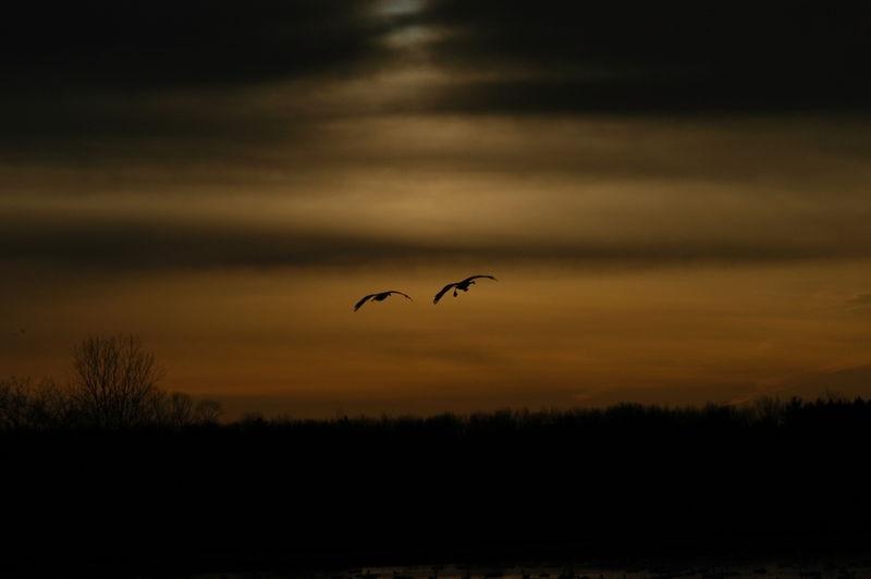 Swans at sunrise 2